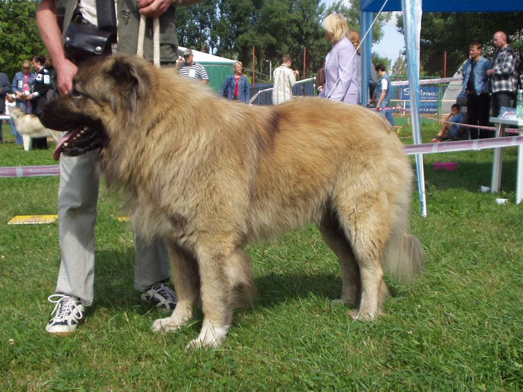 Caucasian Ovcharka Dog Information