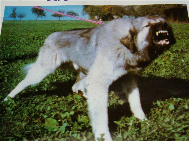 Presa Canario Mastiff Mix